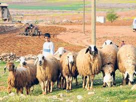 1 milyon keçi-koyun için yer istedi!