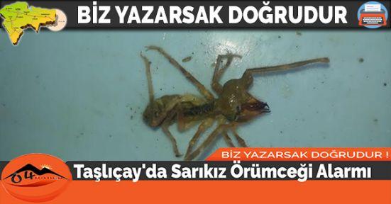 Taşlıçay'da Sarıkız Örümceği Alarmı